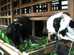 susu kambing etawa organik